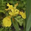 Yellow Iris, Wasser-Schwertlilie