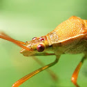 Slender Rice Bug
