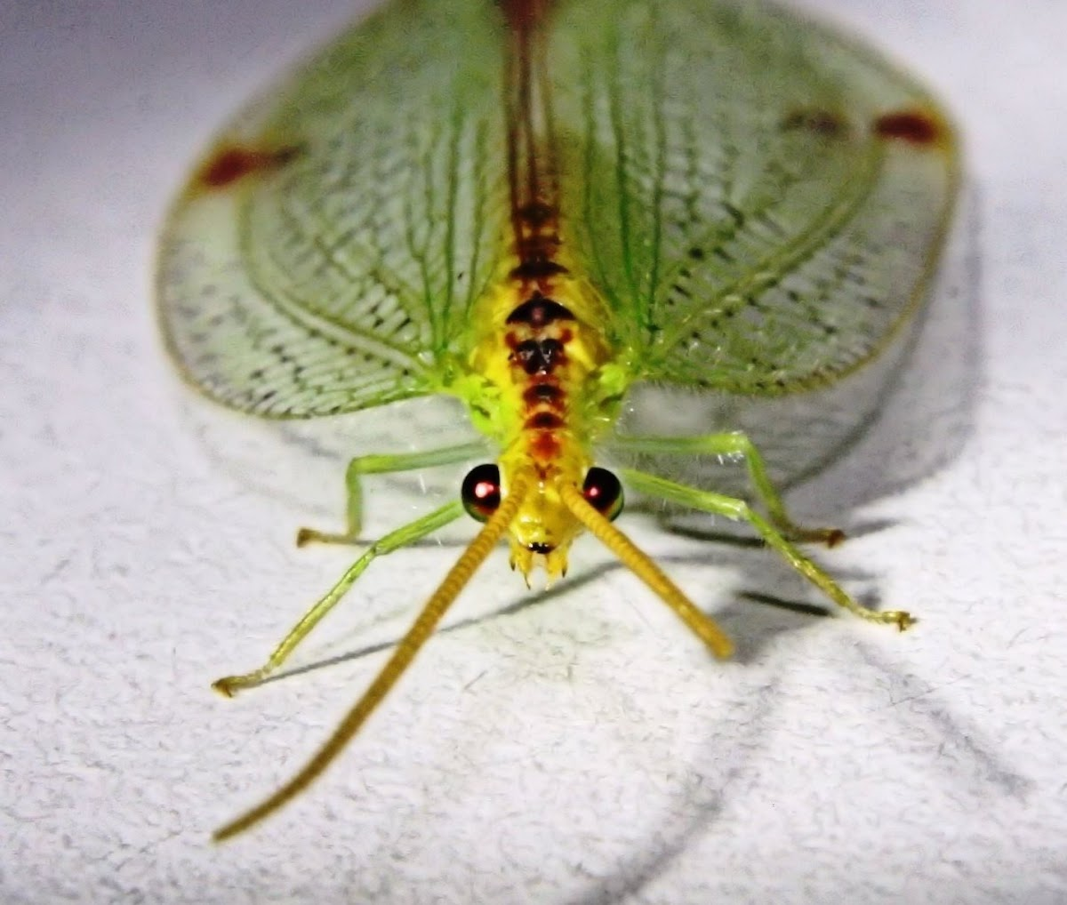 Diamond-banded lacewing