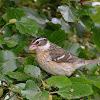 rose breasted grosbeak (female)