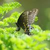 Eastern Tiger Swallowtail or Spice bush
