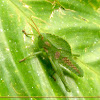 Leaf mimic grasshopper nymph