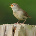 Carolina wren, singing