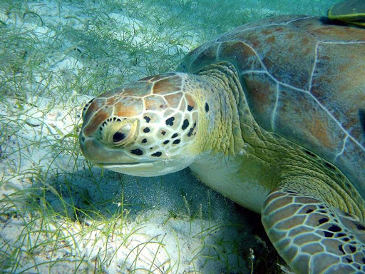 Closeup of a green turtle grazing on the sea floor in the US Virgin Islands.