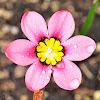 Harlequin Flower