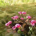 Lotus Species