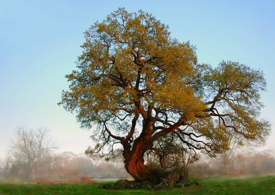 Survivor Oak with Evening Mist by Deborah Powell - Nature Up Close Trees & Bushes ( uprooted oak tree, debbie powell, lafayette, nature, tree, louisiana trees, oak tree, survivor oak tree, trees, mist, uprooted tree, lafayette louisiana, deborah powell, landscape, fog )