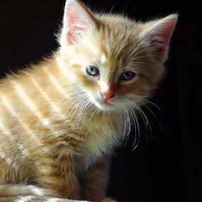 Ol Blue Eyes by Vivian Gordon - Animals - Cats Kittens ( vigor, kitten, cat, baby, feline, animal )