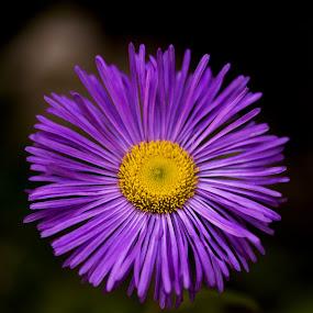 flower by Naiden Bochev - Flowers Flower Gardens ( nature, daisy, garden, flower, purple flower )
