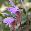 Fairy Slipper (Calypso Orchid)