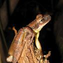 Flat-headed bromeliad treefrog