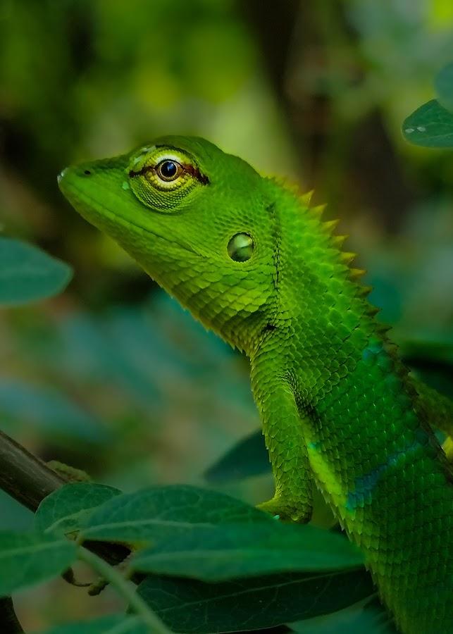 The Green Lizard by MaSs Balasooriya - Animals Reptiles ( mobilography, animals, lizard, phone, nature, mobile photos, green, beautiful, capture, beauty, eyes,  )