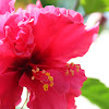 Red Layered Hibiscus