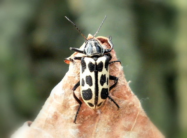 Spotted Maize Beetle.