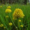 Yellow milkwort/batchelor buttons