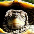 Map Turtle,Falsa-Tartaruga-Mapa