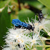 Blue Flower Wasp, Scoliid Wasp