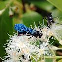Blue Flower Wasp, Scoliid Wasp