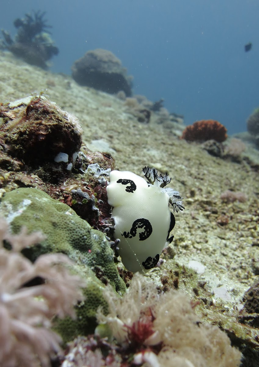 Dotted Nudibranch