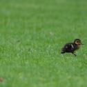 Pacific Black Duckling