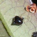 Black Pearl Spider