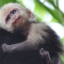 White faced capuchin monkey-infant