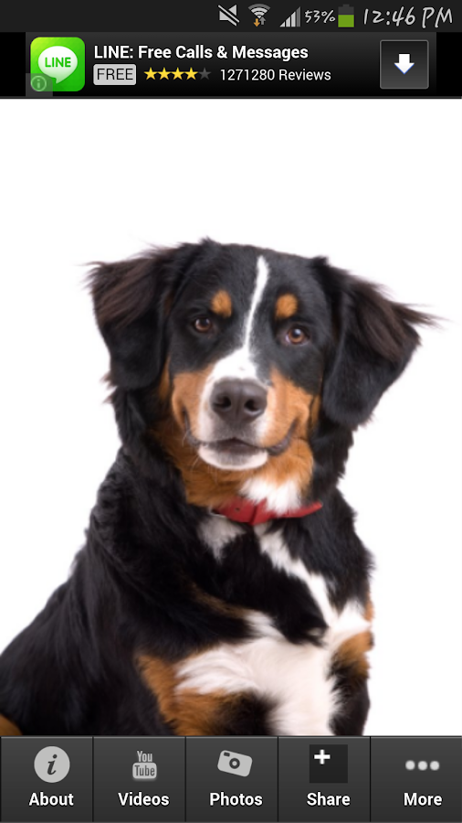 Bernese Mountain Dog Info - screenshot