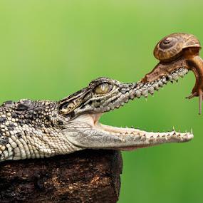 Dr. Snail - Dental Care by Andri Priyadi - Animals Reptiles ( reptiles, animals, indonesia, crocodile, nikkor, nikon, snail, reptile, animal )
