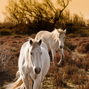 horses of camargue by Giorgio Baruffi - Animals Horses ( ghiaccio, inverno, francia, panorami, camargue, sopralluogo, volatili )