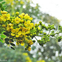 Siamese Cassia or Kassod Tree