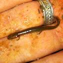 Many-ribbed Salamander