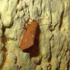 Ruddy Holomelina Moth