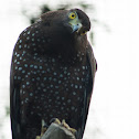 Philippines Serpent Eagle
