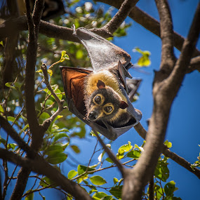 Watching by Charlotte Hellings - Animals Other ( flyingfox, nature, australia, bat, beauty, natural, closeup,  )