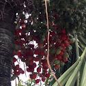 Manila palm, Christmas palm