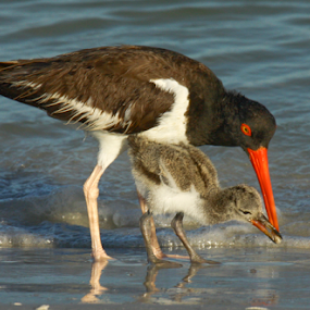 Feeding The Kids by Scott Helfrich - Animals Birds ( canon, art, pixoto, canvas, wildlife, birds, birding, bird, scotthelfrichphotography, 7d, nature, oystercatcher, framedart, naturephotography,  )