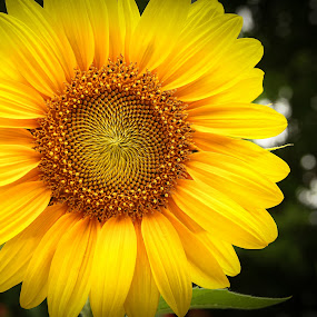 by Mario J - Flowers Single Flower ( blooming, sunflower, yellow, close up, , Hope )