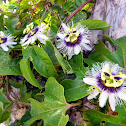 Passion Flower (Lilikoi)