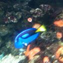 Regal tang - pesce chiurgo