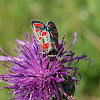 Carniolian Burnet Moth