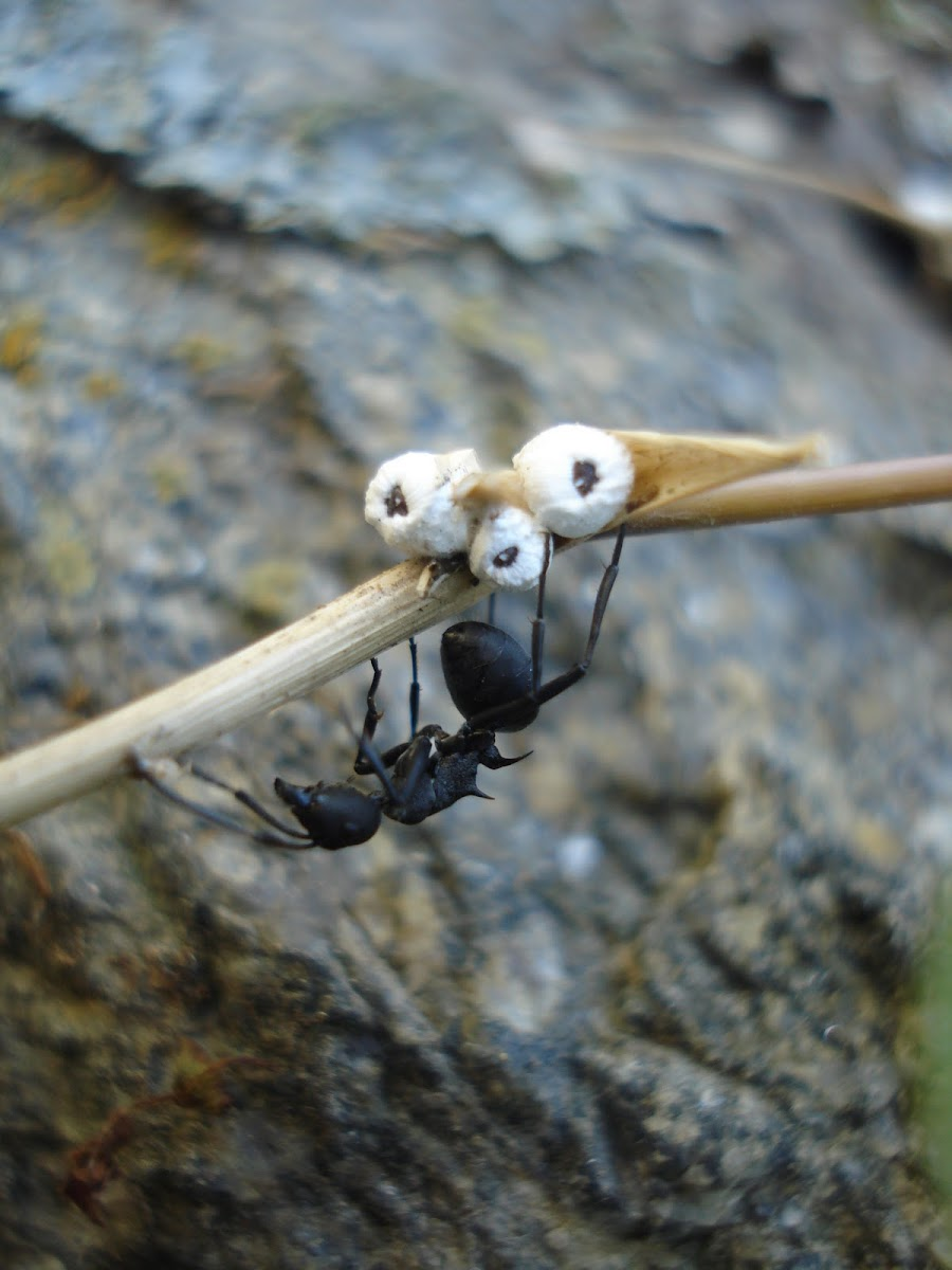 Carpenter ant with scale
