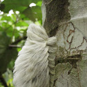 Stinging Flannel Moth Caterpillar