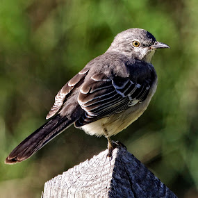 Listen to the mocking bird by Sandy Scott - Animals Birds ( bird, interesting birds, common birds, small birds, mocking bird, florida birds,  )