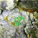 Creeping Woodsorrel, Procumbent Yellow-sorrel or Sleeping Beauty