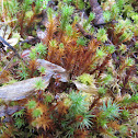 Burned Ground Moss aka Purple Moss