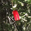 Bottle brush bloom