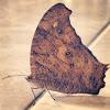 暮眼蝶 、The Common Evening Brown 、ウスイロコノマチョウ、薄色木間蝶