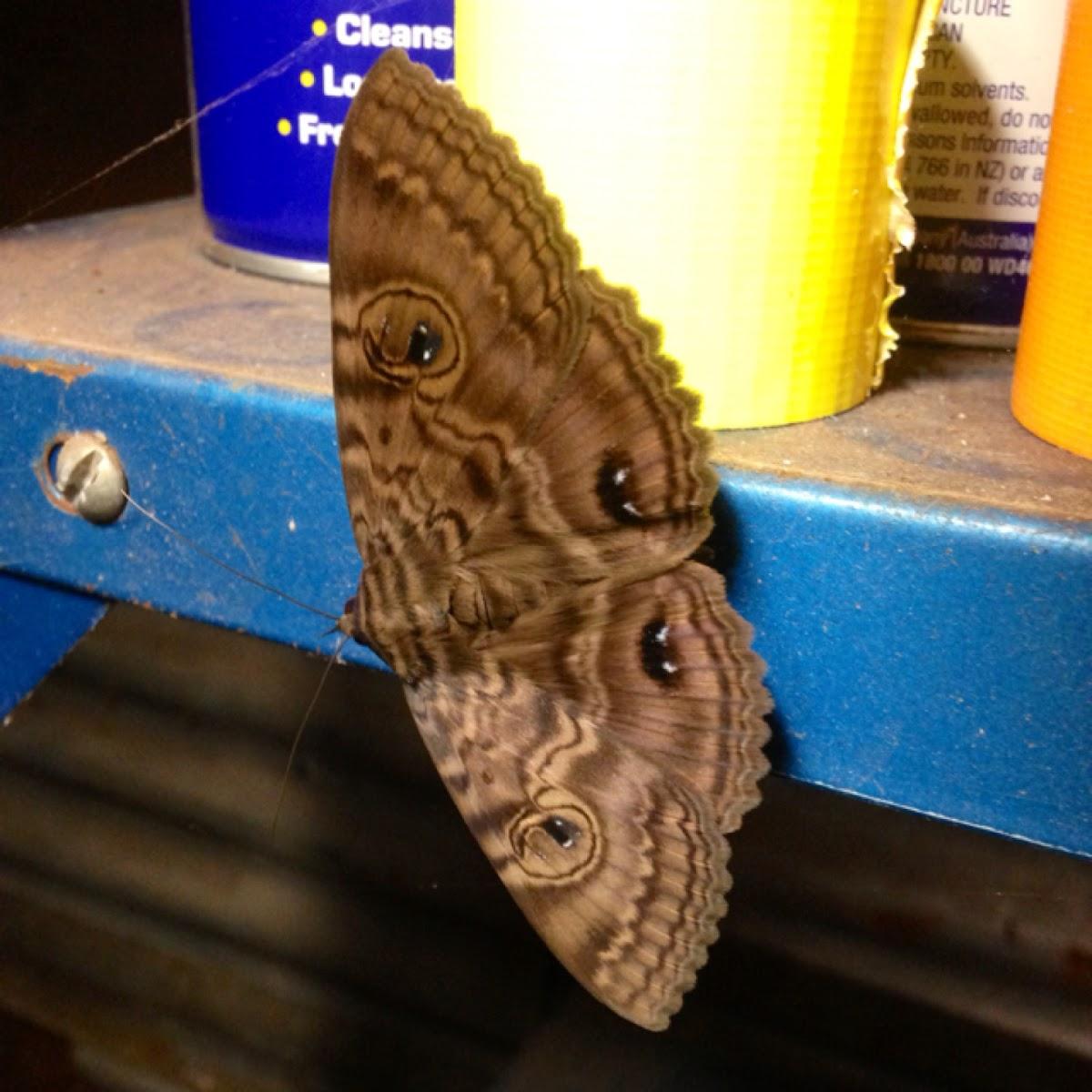 Granny's Cloak Moth