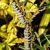 Monarch caterpillars