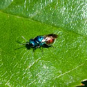 Cuckoo wasp / Goldwespe